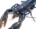 【9/27~9/29】近江牛とオマール ブルーの鉄板焼美食会 -WEB予約-