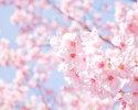 桜5000コース